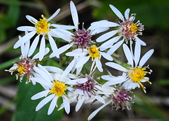 Aters (hickamorehackamore) Tags: ct connecticut moodus moodusreservoir aster native nativewildflower wildflower