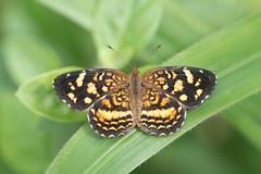 Anthanassa frisia (fabriciodo2) Tags: bucaramanga anthanassafrisia papillon maripos nature macro colombie sigma150