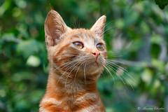 _77A4570 (Massimo Chiodini) Tags: gatto gatti animali natura