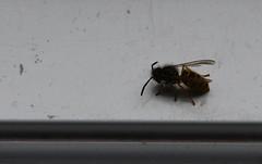 Yellow Jacket Wasp (Vespula germanica) (selinamochrie) Tags: scotland uk dumbarton yellow jacket wasp species wildlife nature outdoors insect invertebrate