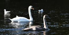 Mute Swan with Juvenile (Cygnus olor) (Selina Mochrie) Tags: scotland uk balloch park lomond shores bird avian species wildlife nature outdoors water feathers beak mute swan elegant juvenile young family