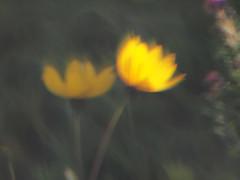 Backlit (gripspix) Tags: plastiklinse 20190922 experiment test versuch plasticlens slideviewer handmadets m42 linseeinesdiabetrachters acrylglas acrylicglass fuckingbadlens grottenschlechtelinse selbstgemachtesobjektiv flower blume yellow gelb