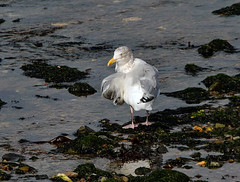 Herring Gull (2) (grahamh1651) Tags: newlyn mountsbay tolcarne birds seabirds gulls swans divers