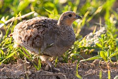 Young Grey Partridge (markus.jacobs1899) Tags: 300mm d500 tiere natur tele vögel wildtiere