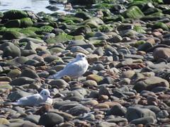 Photo of Mediterranean Gull