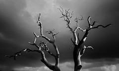 . (AnneStany) Tags: tree arbre nature blackwhite noirblanc monochrome sky ciel