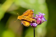 FIERY SKIPPER BUTTERFLY (nsxbirder) Tags: fieryskipper butterfly ohio hamiltoncounty amberleyvillage frenchpark