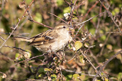 Female Sparrow (David Blandford photography) Tags: female sparrow keyhaven hampshire bird