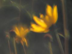 Evanescent (gripspix) Tags: plastiklinse 20190922 experiment test versuch plasticlens slideviewer handmadets m42 linseeinesdiabetrachters acrylglas acrylicglass fuckingbadlens grottenschlechtelinse selbstgemachtesobjektiv flower blume yellow gelb
