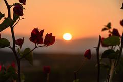 kythera - sunset (athanecon) Tags: kythera kythira cythere kythiraisland kytheraisland island leivadi travassarianika sunset flower sun light colours greece summer summer2019 cerigo cirigo tsirigo flowers tramonto coucherdesoleil ocaso