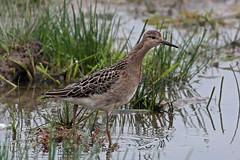 ruff (DODO 1959) Tags: wildlife ruff avian birds animal outdoor nature water wader reeds canon 100400mmmk2 7dmk2 carmarthenshire wales goodhallhide llanelli dafenscrapes wwt