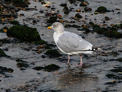 Herring Gull (1) (grahamh1651) Tags: newlyn mountsbay tolcarne birds seabirds gulls swans divers