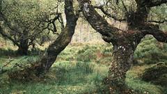 Black Woods of Rannoch (ShinyPhotoScotland) Tags: stravaiging tranquil still simple dulllight beautiful green colour snapseed ultralightapp sonya7r3 highlands perthshire scotland woods native nature pinussylvestris scotspine caledonianforest rannoch blackwoods trees woodland