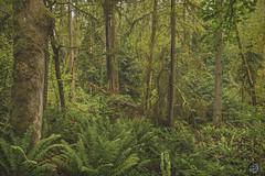 Big Finn Hill Park 2019 (TheArtOfPhotographyByLouisRuth) Tags: wa waparks earlymorning tree treemendous landscape louisruthphotography lighting fern wood prophoto forest nikond810 warm rain rainforest bigfinnhillpark gpfgardensparksandforests artofimages nikonflickraward