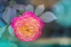 Rose (JMS2) Tags: nature garden flower rose bokeh soft pink leaves petri