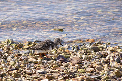 Spot the Turnstone? (David Blandford photography) Tags: turnstone bird keyhaven hampshire