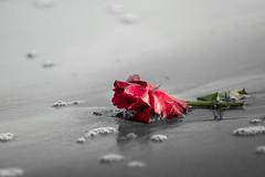 Saint-Palais-sur-Mer, Charente-Maritime, France (o.mabelly) Tags: format plein ff frame full 7rm2 ilce a7 sony a7rii ilce7rm2 france alpha europe charentemaritime gironde charente estuaire sonnar t fe 55mm f18 za rose fleur flower plage beach mer sea saintpalaissurmer