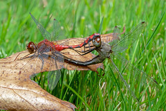 Dragonflies Mating (J-F No) Tags: dragonfly mating insect insects bugs animal fauna wildlife nature macro closeup sony a7rii 90mm