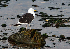 Great Black-backed Gull (grahamh1651) Tags: newlyn mountsbay tolcarne birds seabirds gulls swans divers