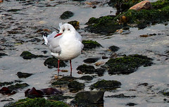 Black-headed Gull (grahamh1651) Tags: newlyn mountsbay tolcarne birds seabirds gulls swans divers