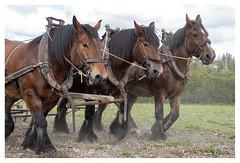 Ploughing in the year 2019 (leo.roos) Tags: nl boer paard a73 sohoog boerdier darosa leoroos a7iii sony241054 sonyfe24105mmf4goss sel24105g workhorse drafthorse walcheren draughthorse heavyhorse ritthem carthorse trekpaard hofeindelienge leoenmiekedevisser farm farming amish ploegen plough ploughing organicfarming ploeg biodynamicagriculture biodynamics biologischdynamisch
