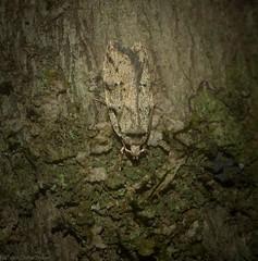 Barea limpida (dustaway) Tags: insecta australia australianinsects australianwildlife natur nature lismore northernrivers nsw arthropoda lepidoptera oecophoridae oecophorinae barealimpida australianmoths wilsonnaturereserve
