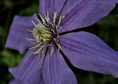 Purple delight (rlt64) Tags: flowers nature purple