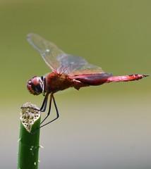 I believe this is a Red Saddlebag Dragonfly. (vguzman1120) Tags: fairchildtropicalbotanicalgarden nature dragonfly nikond5300 nikon nikkor