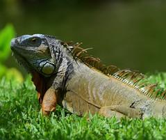 Iguana (vguzman1120) Tags: fairchildtropicalbotanicalgarden iguana nature nikon300mmf4 nikond5300 nikon