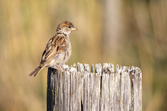 Bird on the post! (David Blandford photography) Tags: female sparrow keyhaven hampshire bird