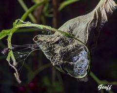 End of the season (gwhiteway) Tags: season macro leaf dead web spider nature closeup