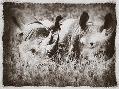 WORLD RHINO DAY (eliewolfphotography) Tags: rhino rhinoceros wildlife wildlifephotographer wildlifephotography nature naturelovers nikon naturephotography animals africa african tanzania travel vintage vintagephotos