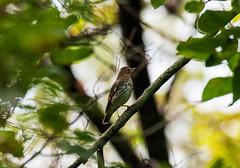 Swainson's thrush (dminnick17) Tags: bird wildlife nature nikon tamron 150600mm