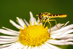 Hoverfly (mattbpics) Tags: insect fly hoverfly diptera macro canon 70d 100 100mm nature wildlife ef100mmf28lmacroisusm