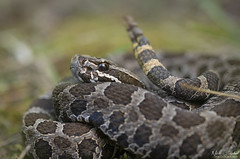 Eastern Massasauga Rattlesnake (Nick Scobel) Tags: eastern massasauga rattlesnake sistrurus catenatus michigan rattler venomous snake rattle pit viper fangs coiled hidden cryptic scales pattern texture forest wide angle habitat scenic