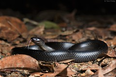 Cryptophis Nigrescens (Eastern Small-Eyed Snake) (Tom Frisby) Tags: snake reptile herping wildlife qld australia animals