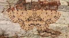 Geometrid Moth (Hypomecis cf. glochinophora, Ennominae, Geometridae), female (John Horstman (itchydogimages, SINOBUG)) Tags: insect macro china yunnan itchydogimages sinobug entomology moth lepidoptera canon ennominae geometridae crypsis camouflage brown fbipm