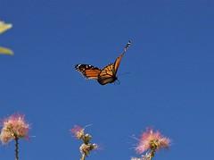 Fly Away Home (rlt64) Tags: butterflies monarch nture