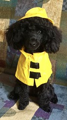 Channeling his inner Debbie Reynolds (efairhurst) Tags: dog yellow toy reynolds debbie gear rain pets poodle dressup
