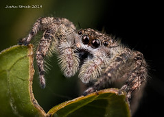 2X Tan Jumping Spider (strjustin) Tags: jumpingspider arachnid beautiful bug insect macro mpe eyes spider