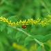 Lady Beetle on Goldenrod