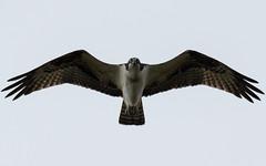 Osprey (dminnick17) Tags: osprey prey birds birding tamron nikon 150600mm wildlife nature