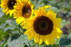 The Three Amigos! (kspan17) Tags: sunflowers mariasfieldofhope prayersfrommaria avon ohio field sun sunshine nature