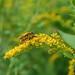 Goldenrod Soldier Beetles 02