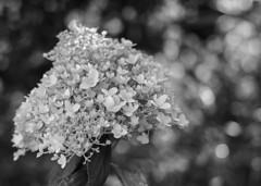 Lacy (Karen_Chappell) Tags: flower bw blackandwhite nature floral flowers blossoms grandconcourse kennyspond stjohns canada canonef24105mmf4lisusm newfoundland nfld park city urban bokeh petals eastcoast atlanticcanada avalonpeninsula monochrome