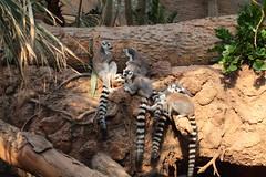 IMG_1119 (neatnessdotcom) Tags: bronx zoo wcs park animal new york city tamron 18270mm f3563 di ii vc pzd canon eos rebel t2i 550d