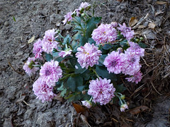 Mums. (dccradio) Tags: lumberton nc northcarolina robesoncounty outdoor outside outdoors nature sunday september afternoon sundayafternoon goodafternoon nikon coolpix w100 mum mums flower floral flowers purple dirt soil topsoil plant bloom blooming blooms blossom blossoming blossoms