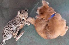 G08A4429.jpg (Mark Dumont) Tags: kris cincinnati baby cheetah zoo mark dumont cat mammal