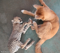 G08A4445.jpg (Mark Dumont) Tags: kris cincinnati baby cheetah zoo mark dumont cat mammal
