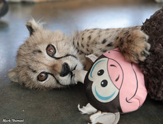 G08A4460.jpg (Mark Dumont) Tags: kris cincinnati baby cheetah zoo mark dumont cat mammal
